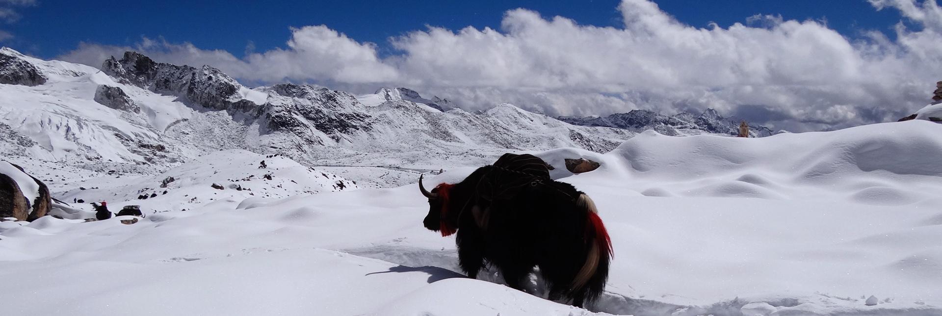 Traversing past a Yak during the Snowman Trek