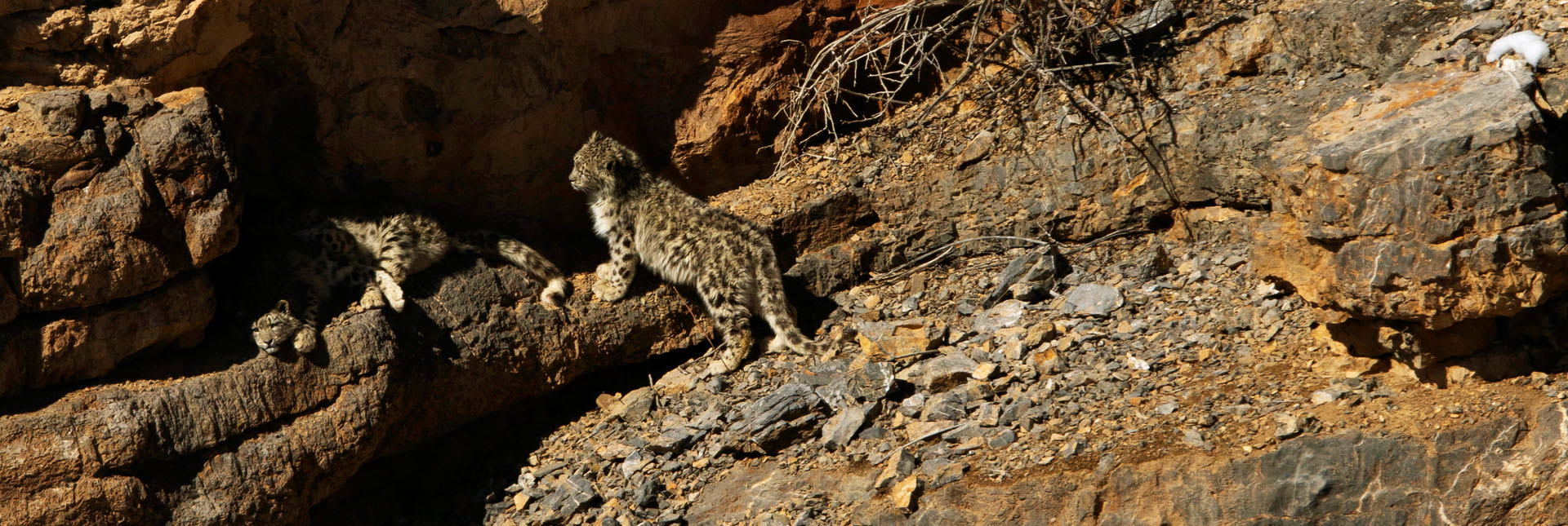 View of snow leopards
